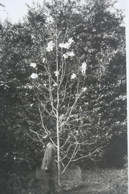 Magnolia sargentiana 1931