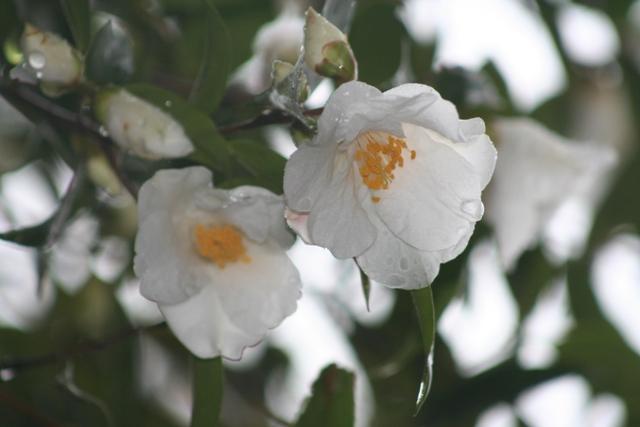 Camellia cuspidata var.cuspidata 2011
