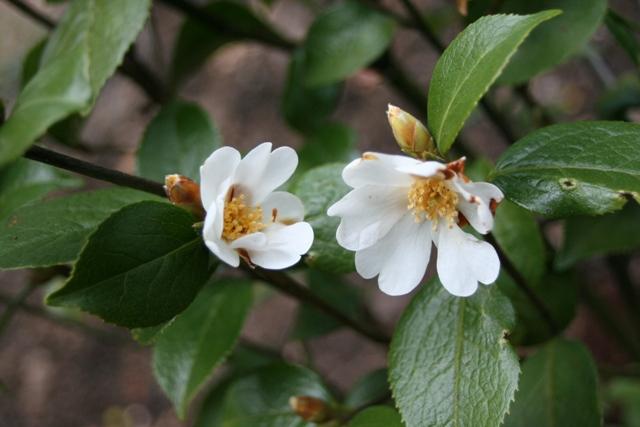 Camellia grijisii ID. 20100013 (2)