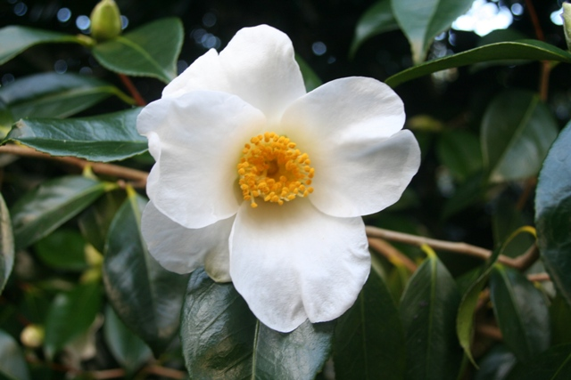 Camellia japonica 'Cornish Excellence' (4)