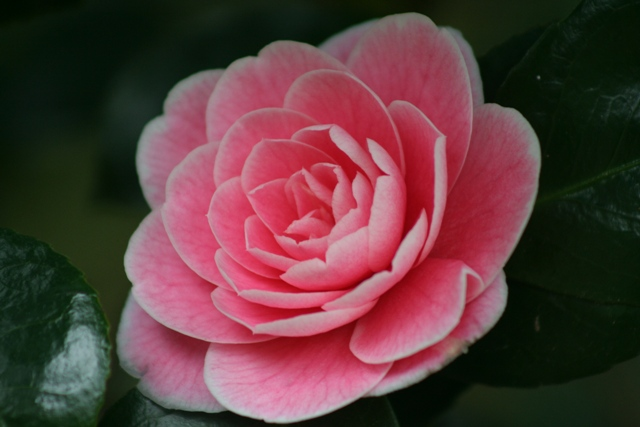 Camellia japonica 'Lady Loch' - at Trewithen Gardens in Cornwall