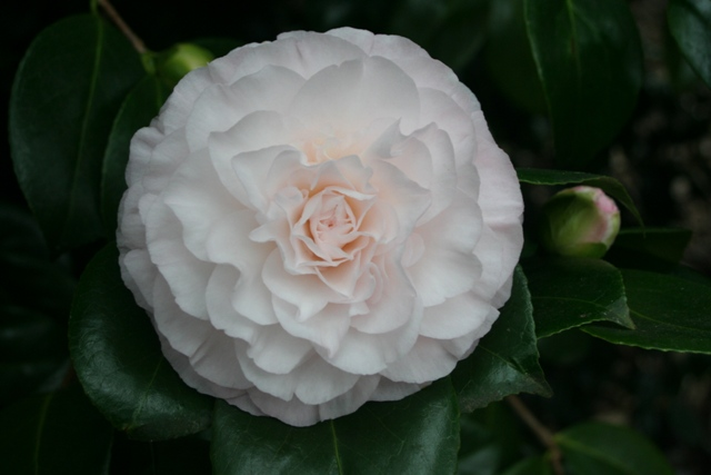 Camellia japonica 'Parkhill Tomorrow'