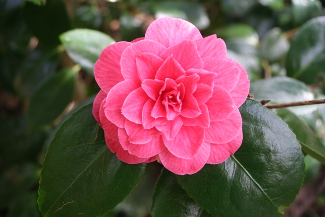 Camellia japonica 'Rubescens major' 2014 (2)