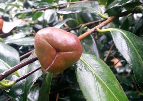 Camellia japonica seed pod