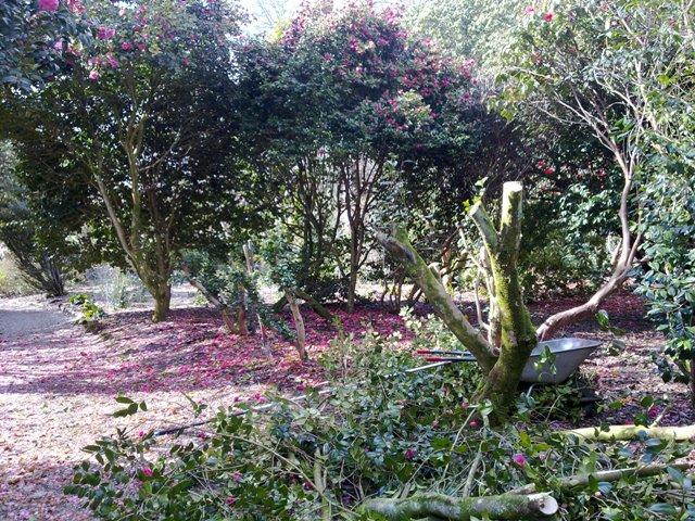 Camellia pruning 4