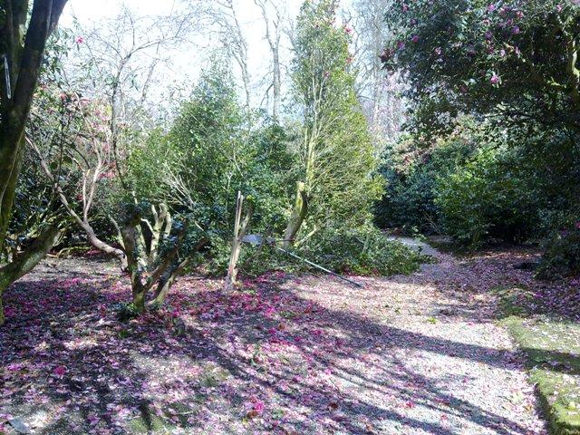 Camellia pruning 5