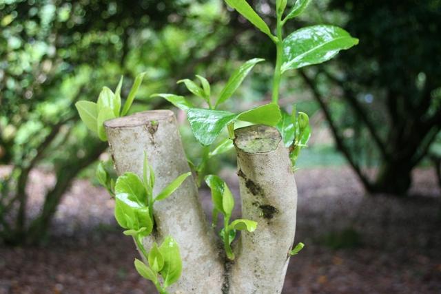 Camellia pruning(1)