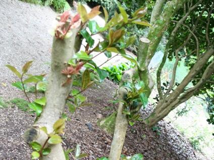 Camellia pruning(3)