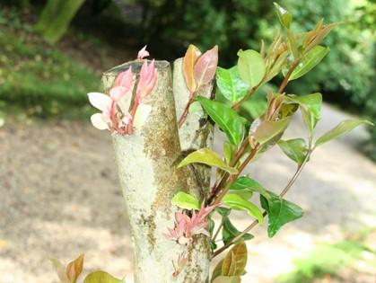 Camellia pruning(4)