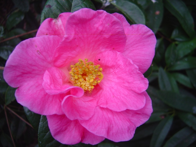 Camellia reticulata at Trewithen Gardens in Cornwall