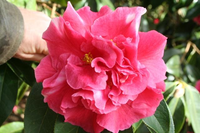 Camellia reticulata 'Shizitou' (1)