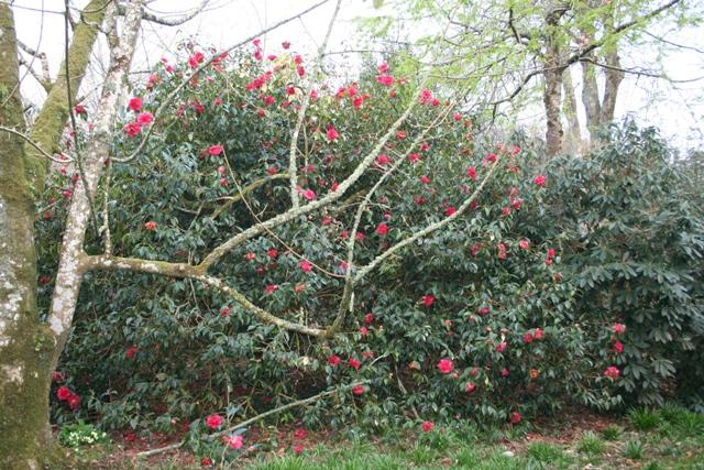 Camellia reticulata 'Shizitou' (Lion Head)