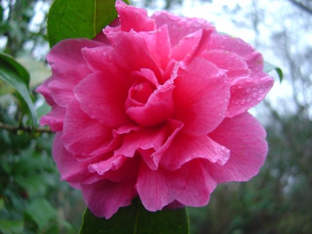 Camellia reticulata hybrid 'Innovation'