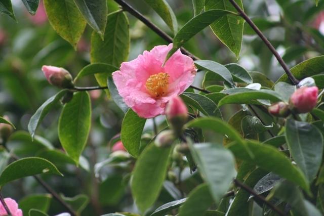 Camellia reticulata wild form (4)