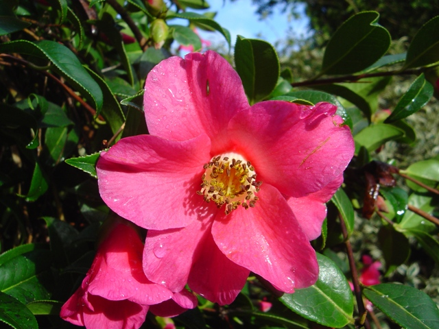 Camellias at Trewithen Gardens in Cornwall