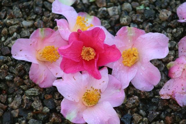 Camellia saluenensis 'Trewithen Red'