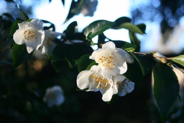 Camellia transnokoensis 2012 (2)