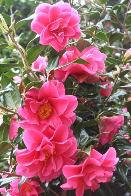 Camellia x williamsii 'Hilo'2013 (2)