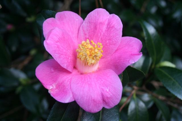 Camellia x williamsii 'Mary Williams' 2014 (2)