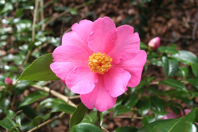 Camellia x williamsii 'Rose Parade' 2014 (2)
