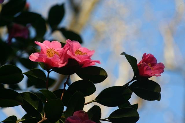 Camellia x williamsii 'St Ewe' 2014 (1)