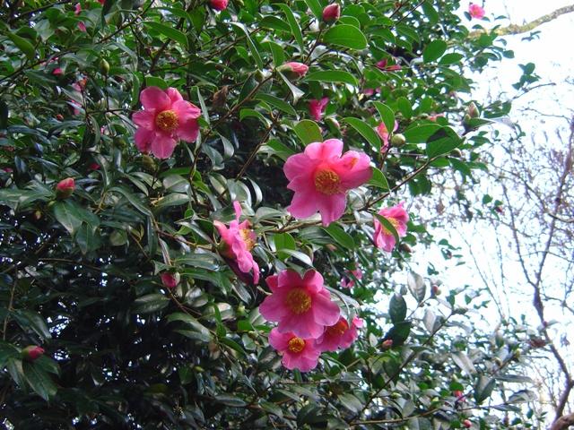 Camellia x williamsii 'St Ewe' web