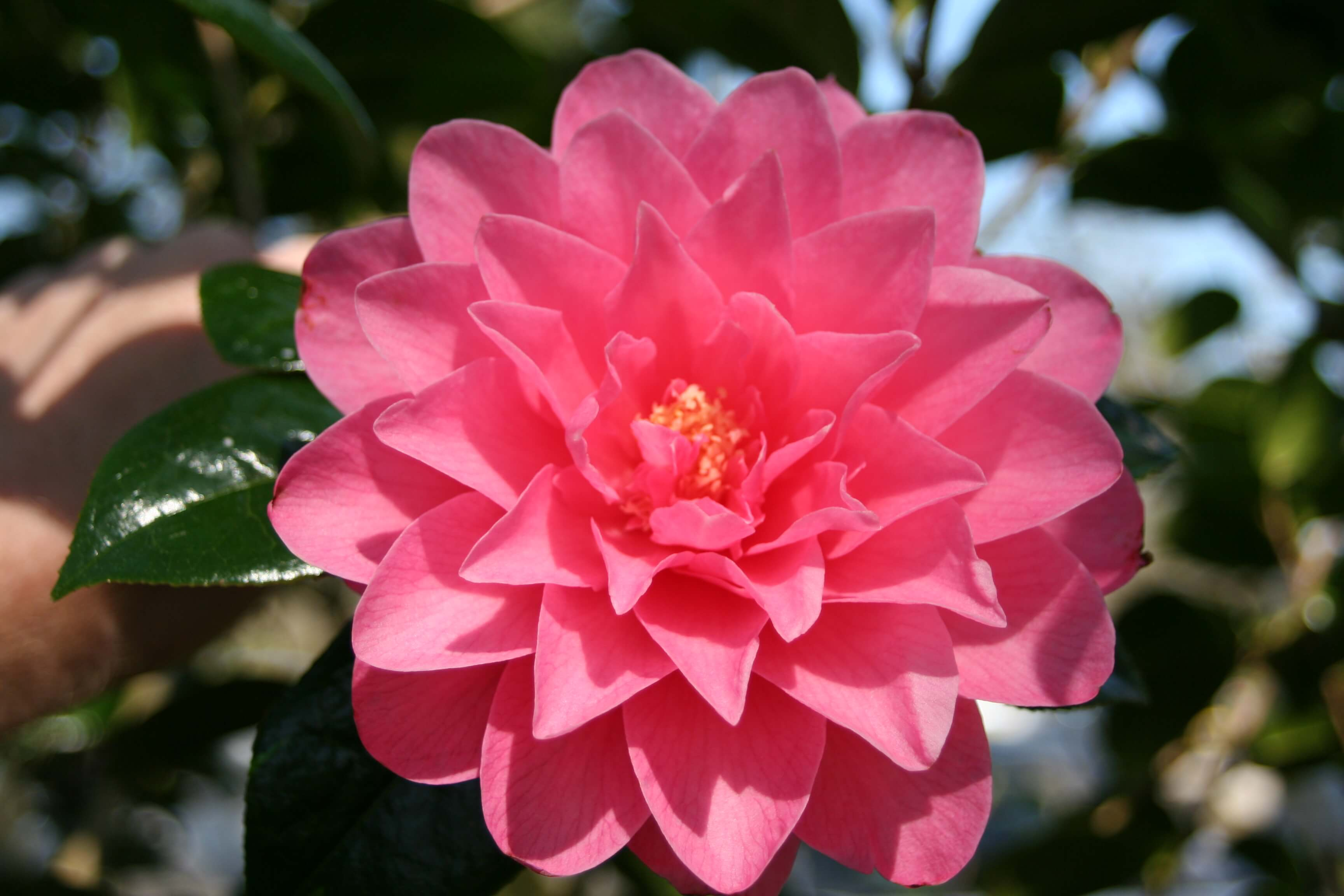 Camellia x williamsii 'Water Lily' 2010 (4)