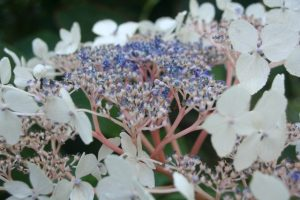 hydrangea-aspera-var-robusta-close-up