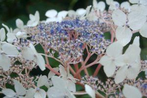 hydrangea-aspera-var-robusta-close-up