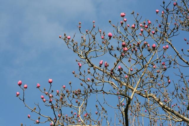 Magnolia 2013 (3)