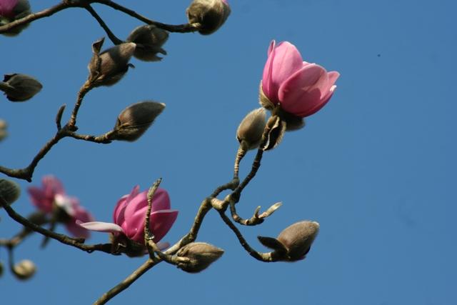 Magnolia 2013 (4)