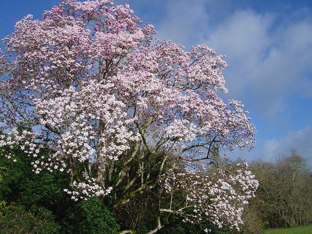 Magnolia campbellii subsp. molicomata main lawn 1