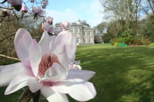 Magnolias at Trewithen a beautiful garden to visit in Cornwall