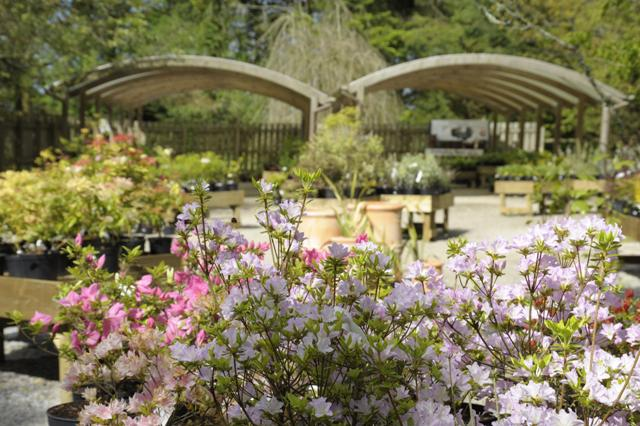 Plant centre azaleas