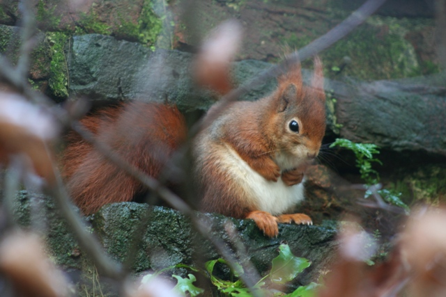 Red Squirrels in Cornwall at Trewithen Gardens