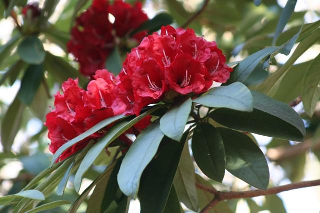 Rhododendron arboreum subsp.delavayi var delavayi