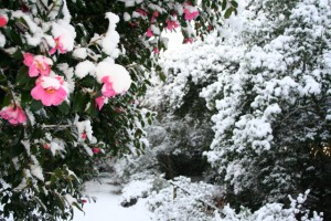 Snow in Cornwall gardens - Trewithen