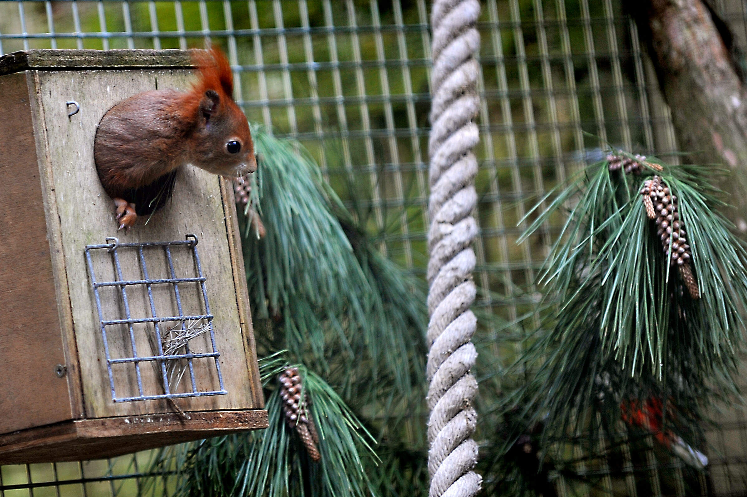 Red Squirrels in Cornwall - Trewithen Gardens