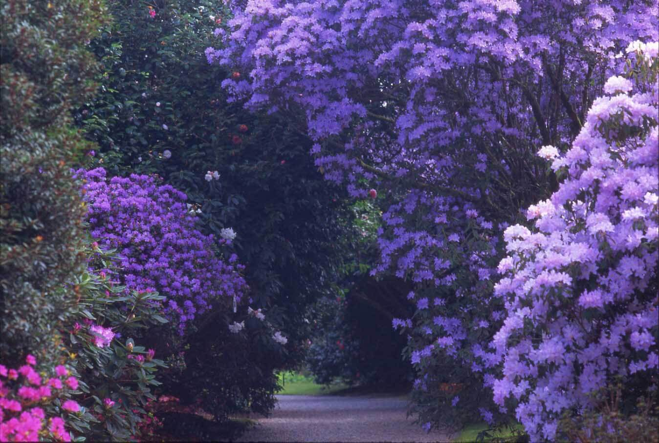 Rhododendrons at Trewithen Gardens in Cornwall