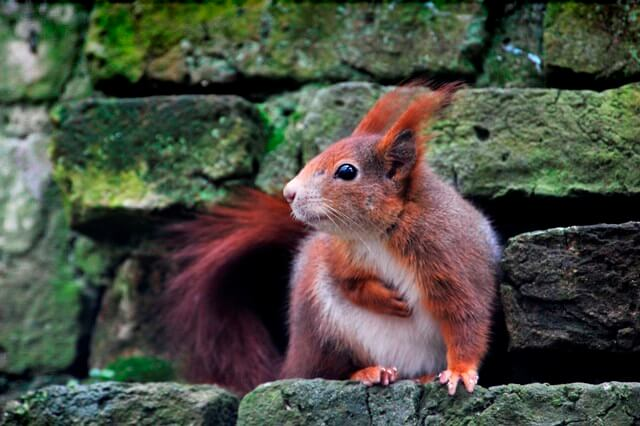 Red Squirrels In Cornwall Trewithen