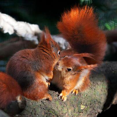 red squirrel kiss