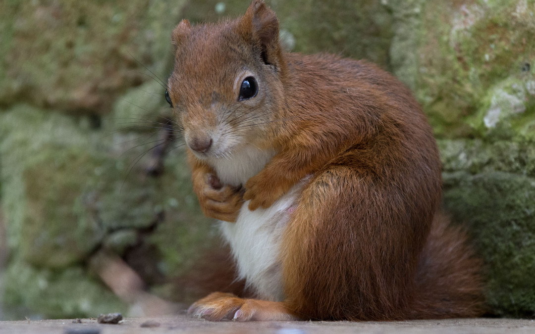 Are Trewithen's red squirrels nesting?
