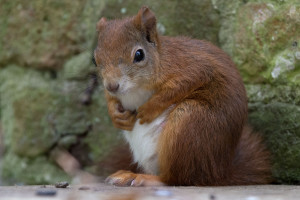 An_expectant_Trewithen_red_squirrel.jpg
