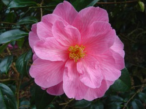 Camellia_x_williamsii_Donation.jpg
