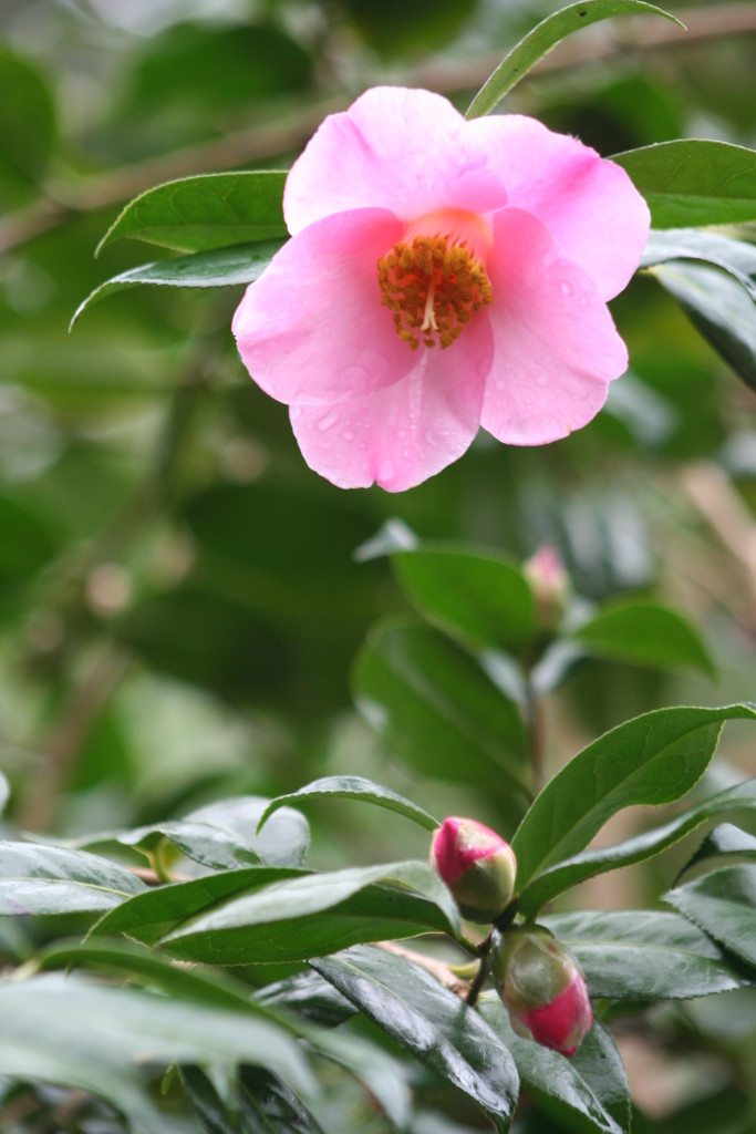 Camellia_x_williamsii_November_Pink.jpg