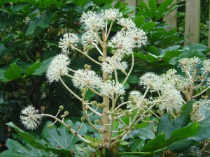 Fatsia_flower_close_up.jpg