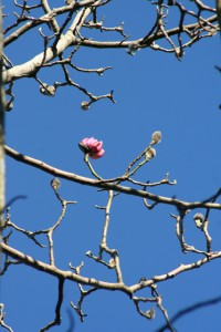 First_magnolia_2014_14.jpg