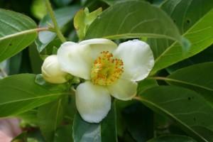 Stewartia_sinensis_flower.jpg