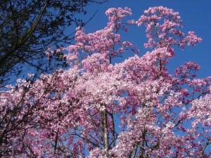 magnolia_sargentiana.jpg