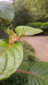 Hydrangea aspera ssp.japonica web